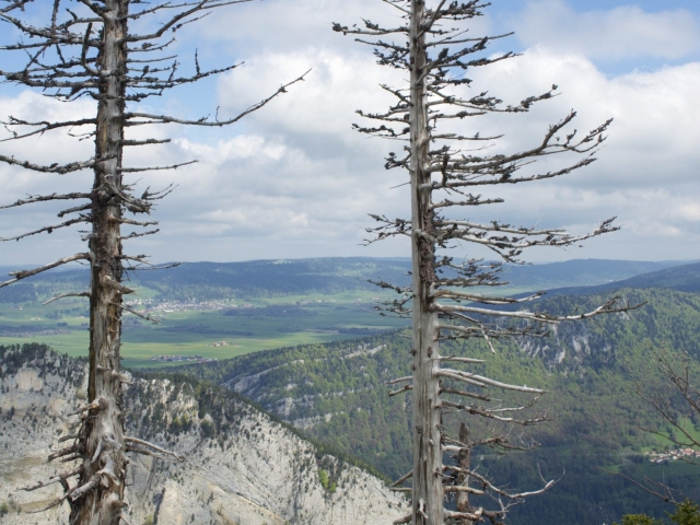 Creux du Van knorrige Bäume am Abgrund