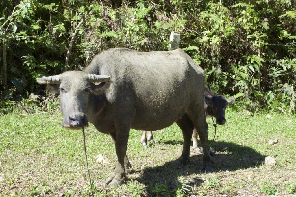 Büffelkuh mit Kalb