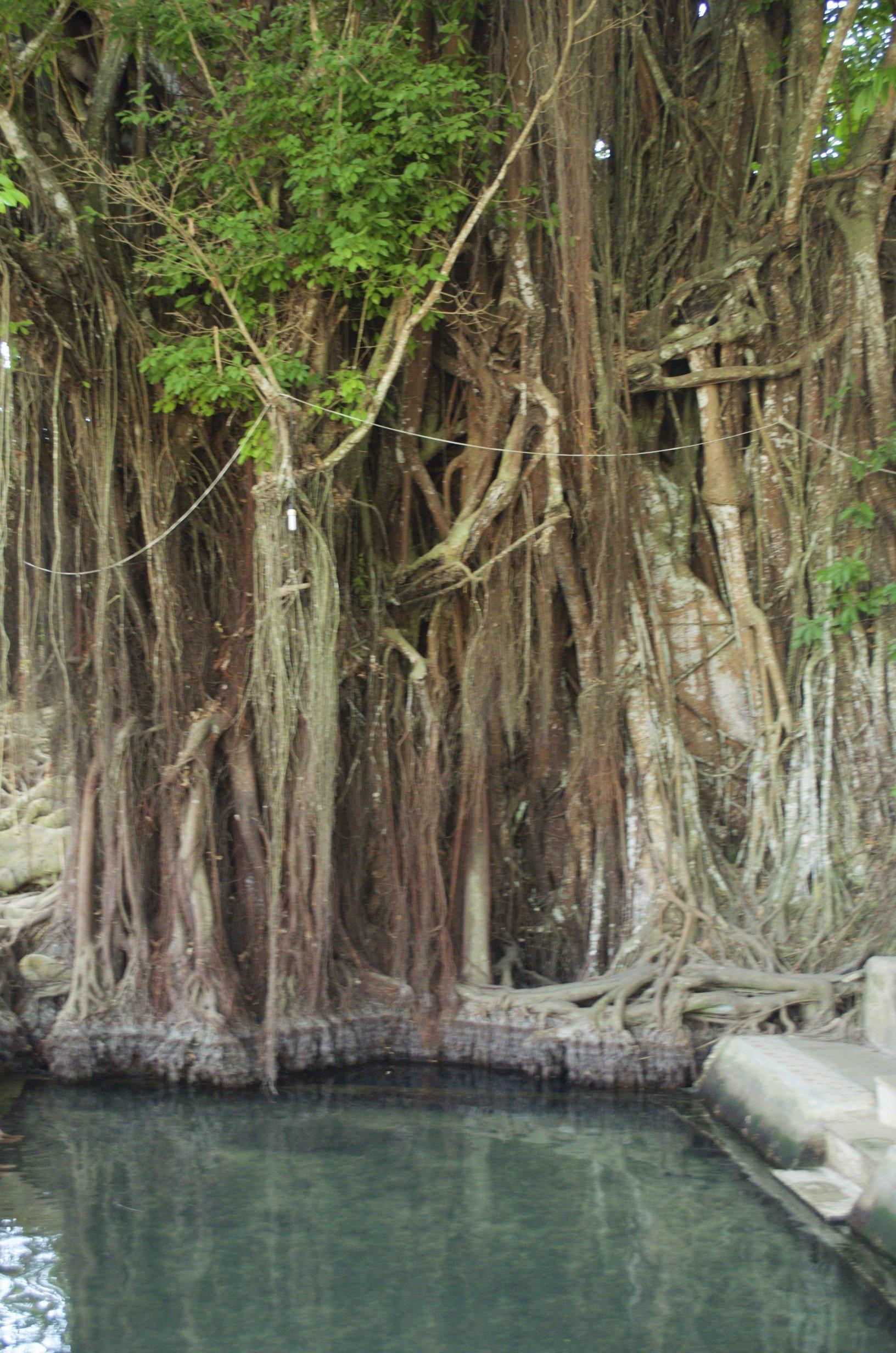 Balete Tree und Fischspa