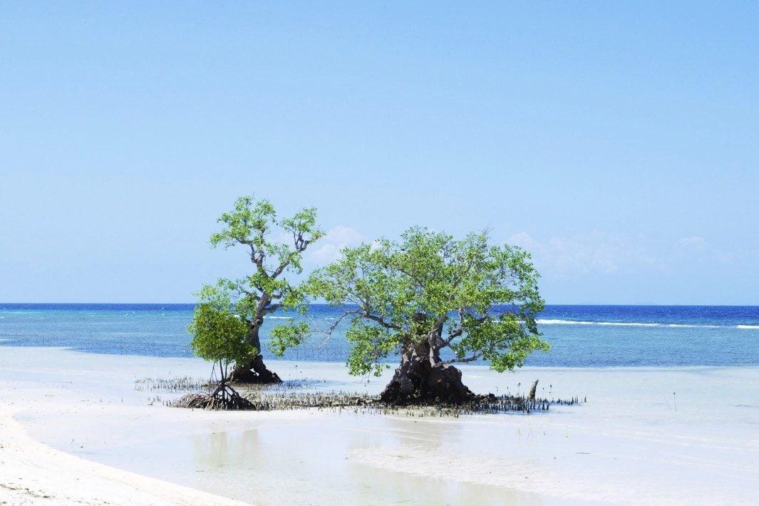 Mangroven auf Siquijor