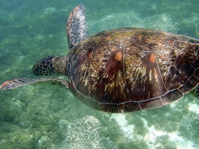 Schildkröte auf Apo Island Philippinen