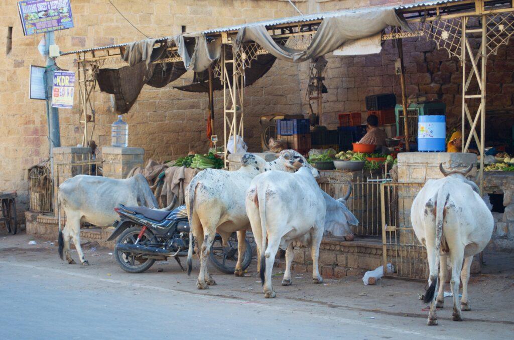 Heilige Kühe am Markt in Jaisalmer