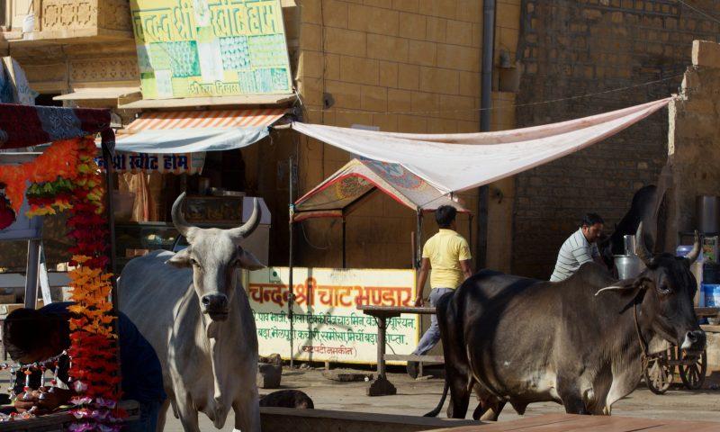 Unterwegs in Rajasthan: heilige Kühe in Jaisalmer