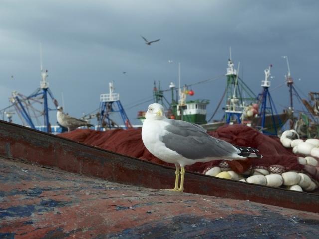 Möwe im Hafen von Essaouira