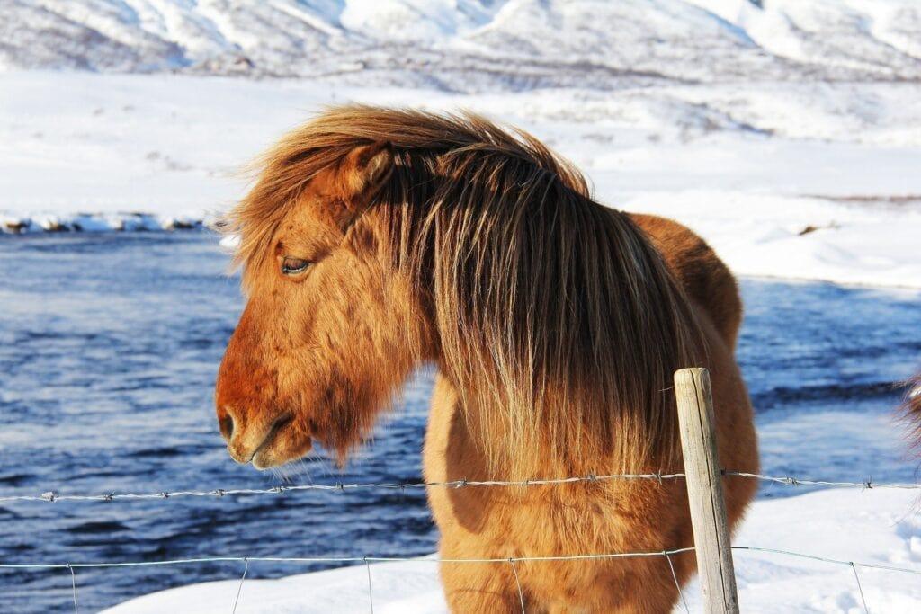 Reisepläne 2017 Islandpferd