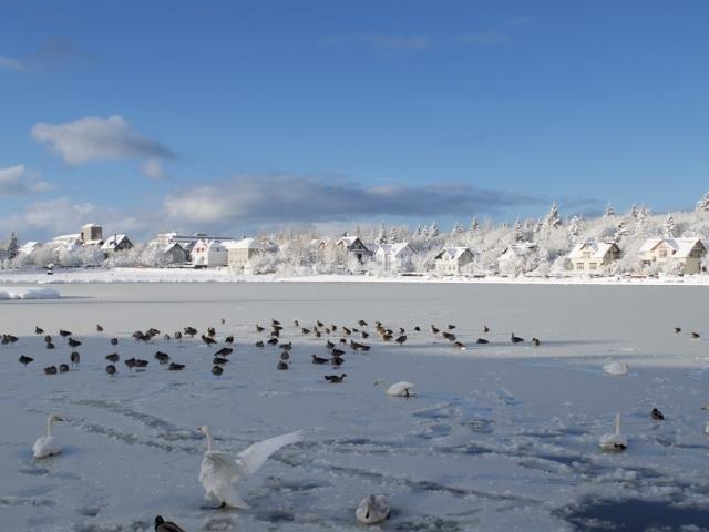Reykjavik Schwände und Enten am zugefrorenen Tjörnin