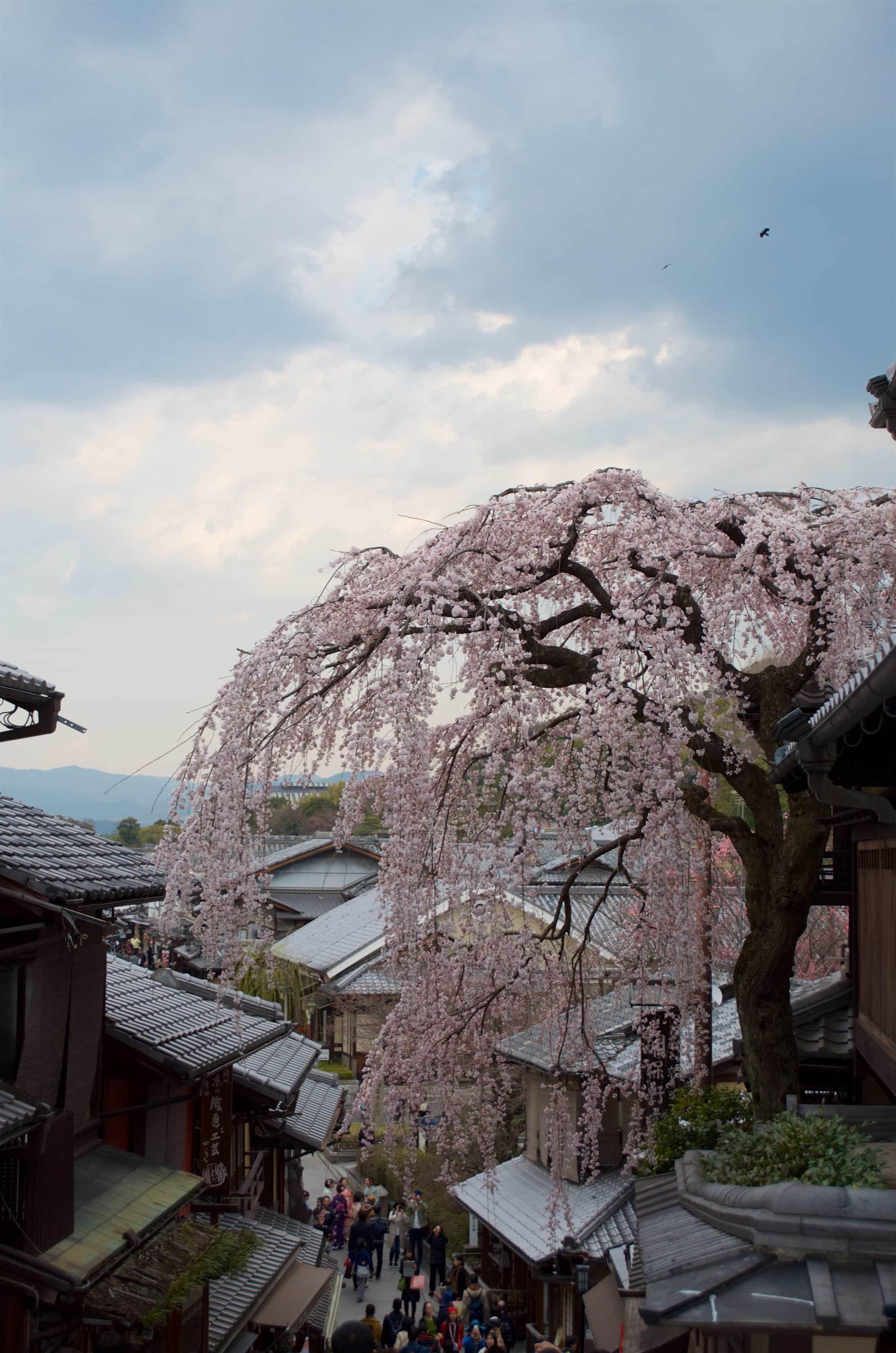 Reisemomente 2017 Kirschblüte Kyoto