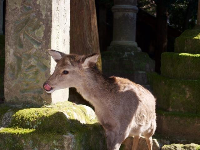 Rehe im Park von Nara