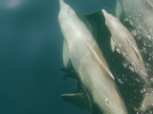 Oman Musandam Delfine begleiten das Boot
