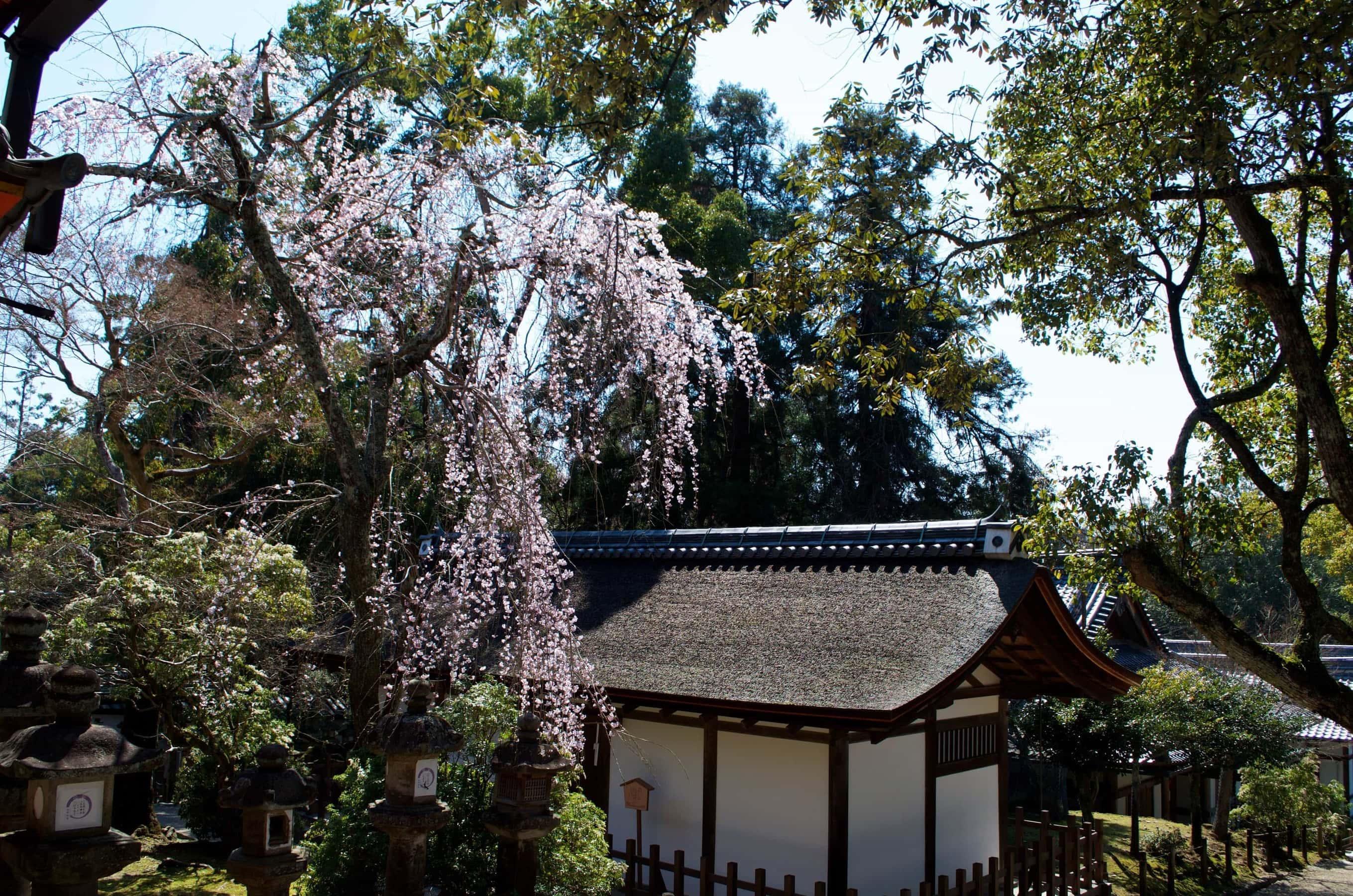 Kirschblüte Nara