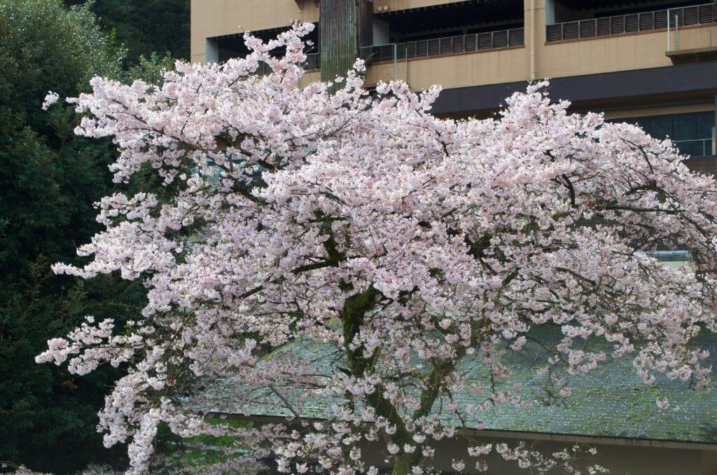 Kirschblüte Hakone