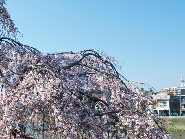 Kirschblüte Kyoto