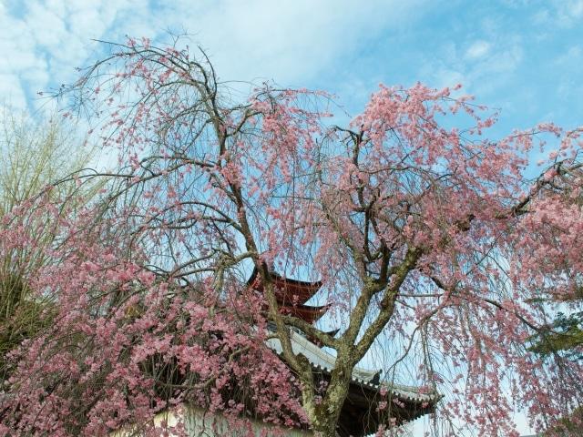 Kirschblüte Hiroshima