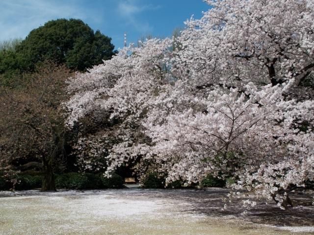 Kirschblüte Tokio