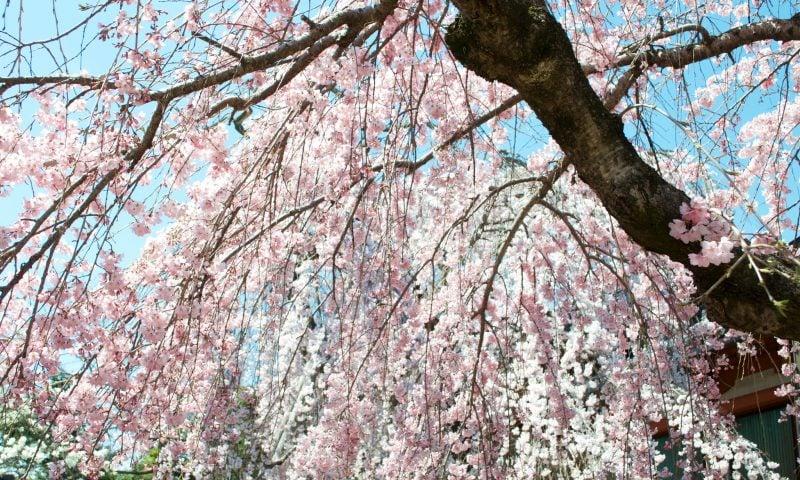 Kirschblüte in Japan