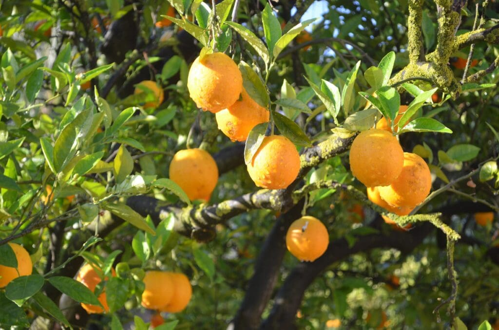 Zitronen im Garten der Finca Cas Sant