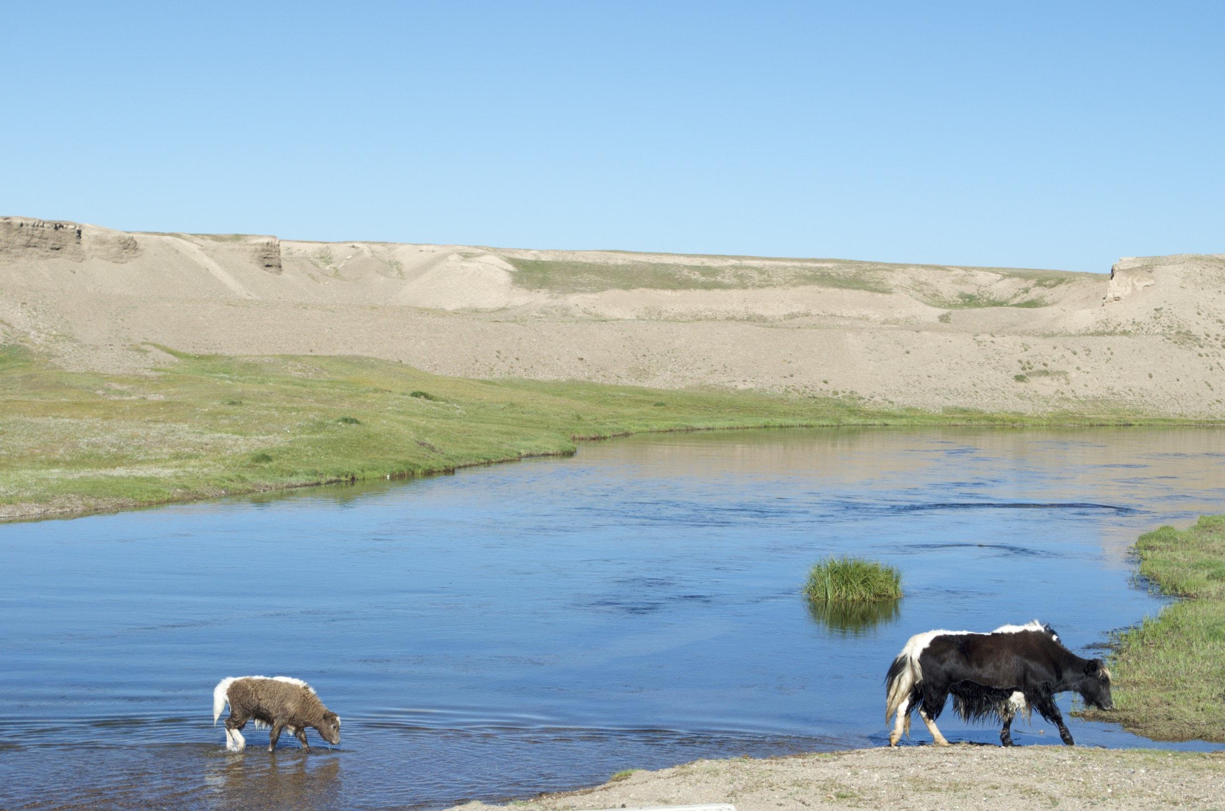 Yaks queren einen Fluss in der Nähe des Songköl