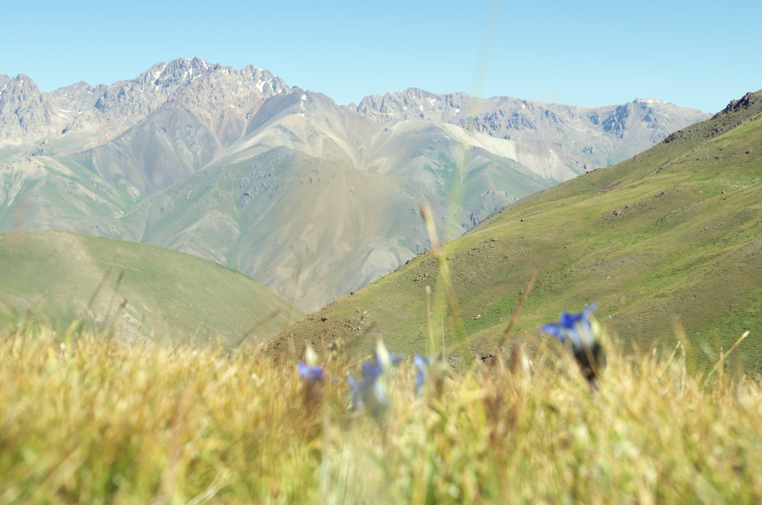 Enzian am Kalmak-Ashuu-Pass