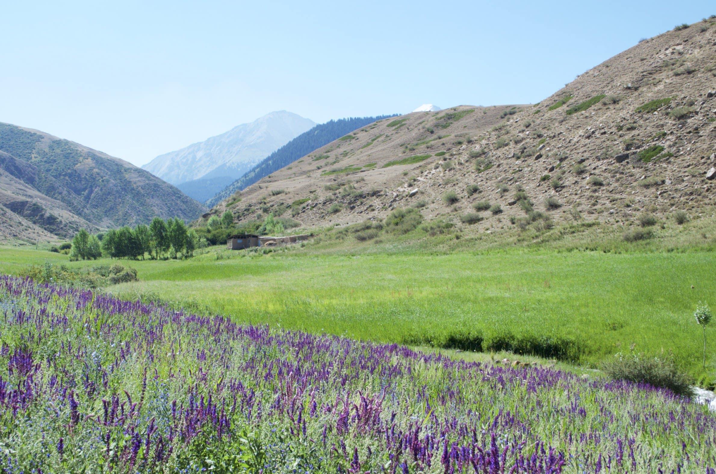 lila Farbenmeer in der Tamga Schlucht Kirgisistan