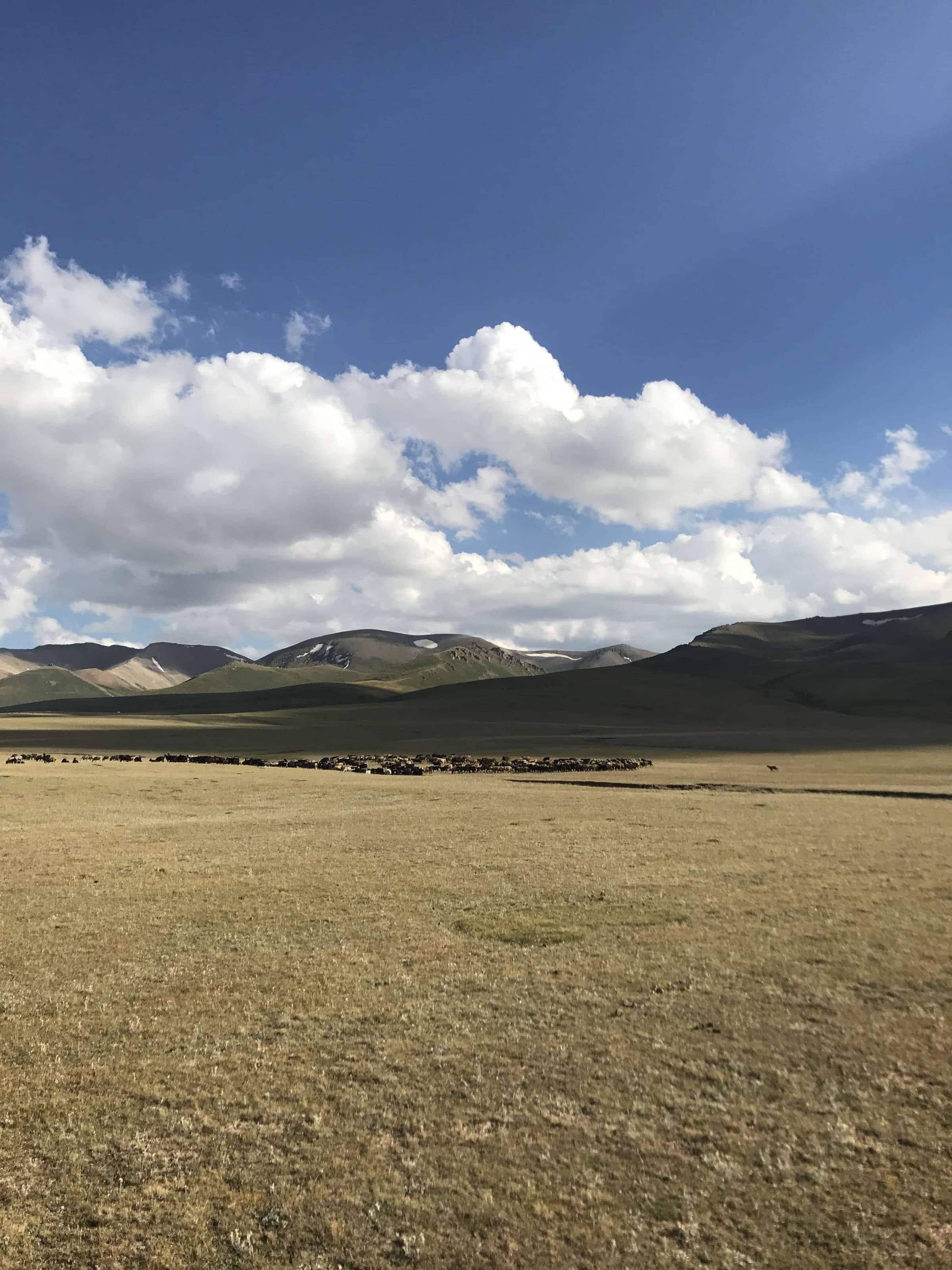 Viehherden am Songköl