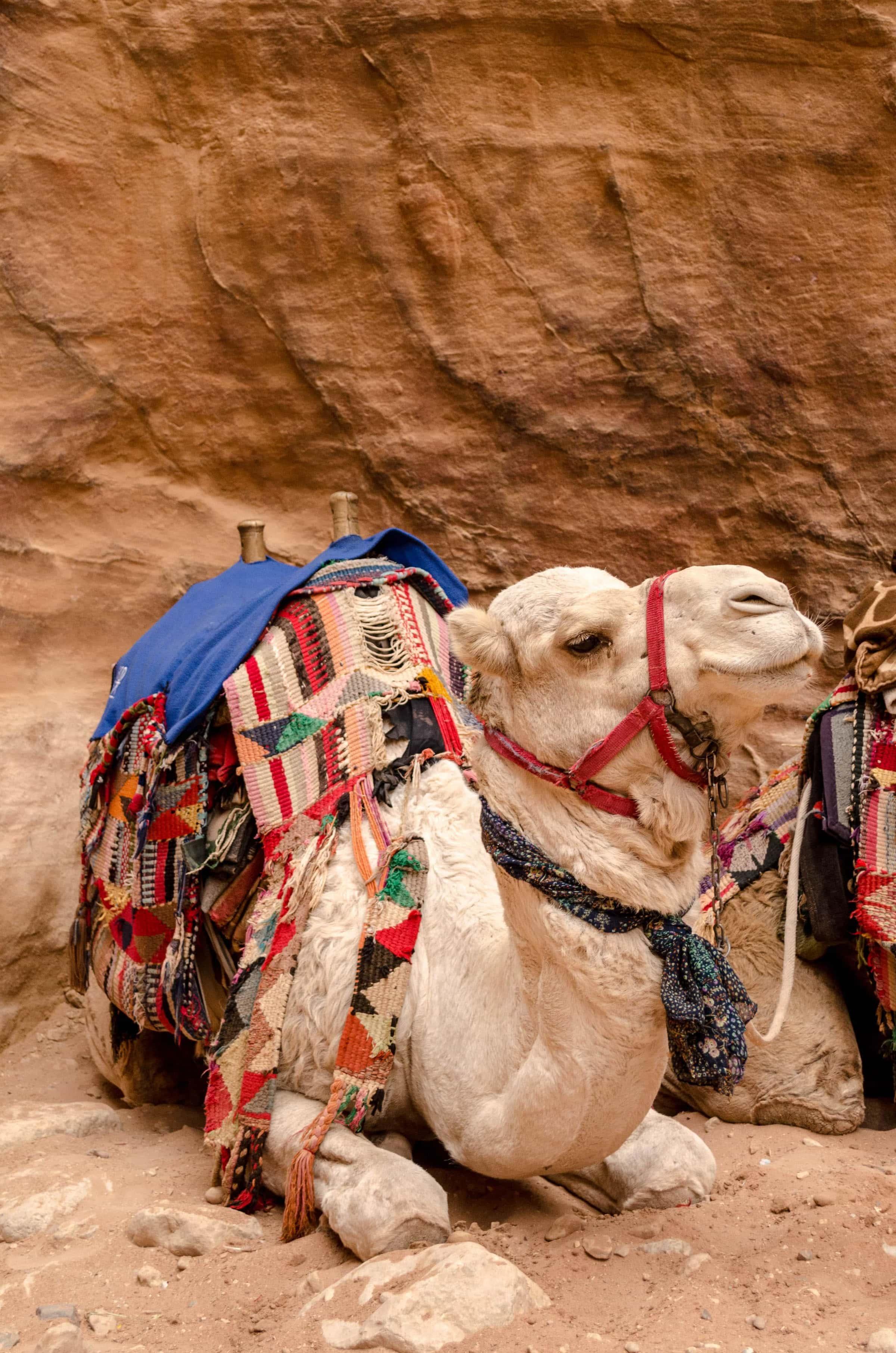 weißes Dromedar in Petra