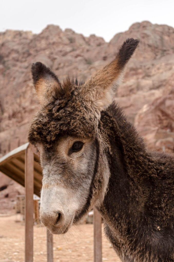 Eselchen in Petra