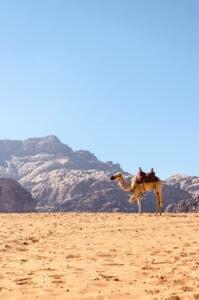 Kamel im Wadi Rum (Fotoparade 2-2017)