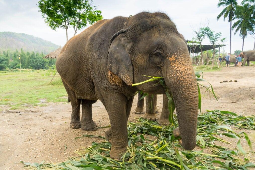 Elefanten beim Fressen im Lanna Kingdom Elefant Sanctuary