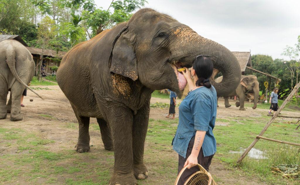 Elefanten mit Bananen füttern