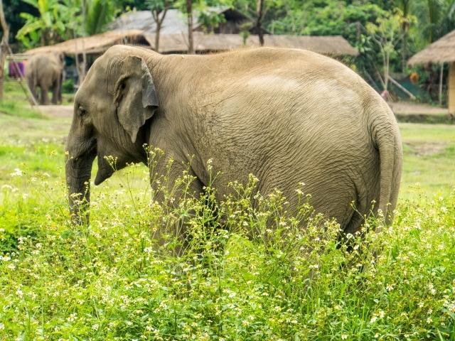 Elefanten baden im Lanna Kingdom Elefant Sanctuary