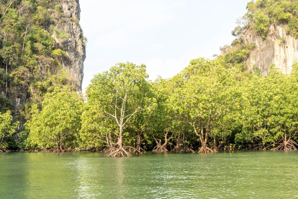 Mangroven in der Lagune von Ko Hong (Segeln in Thailand)