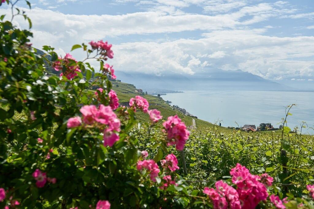 Terassen mit Wein hinter einer Rosenhecke