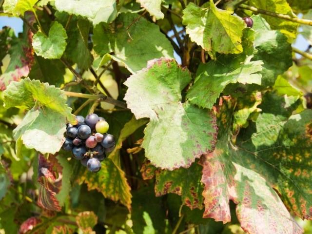 verfärbtes Weinlaub und fast reife Trauben
