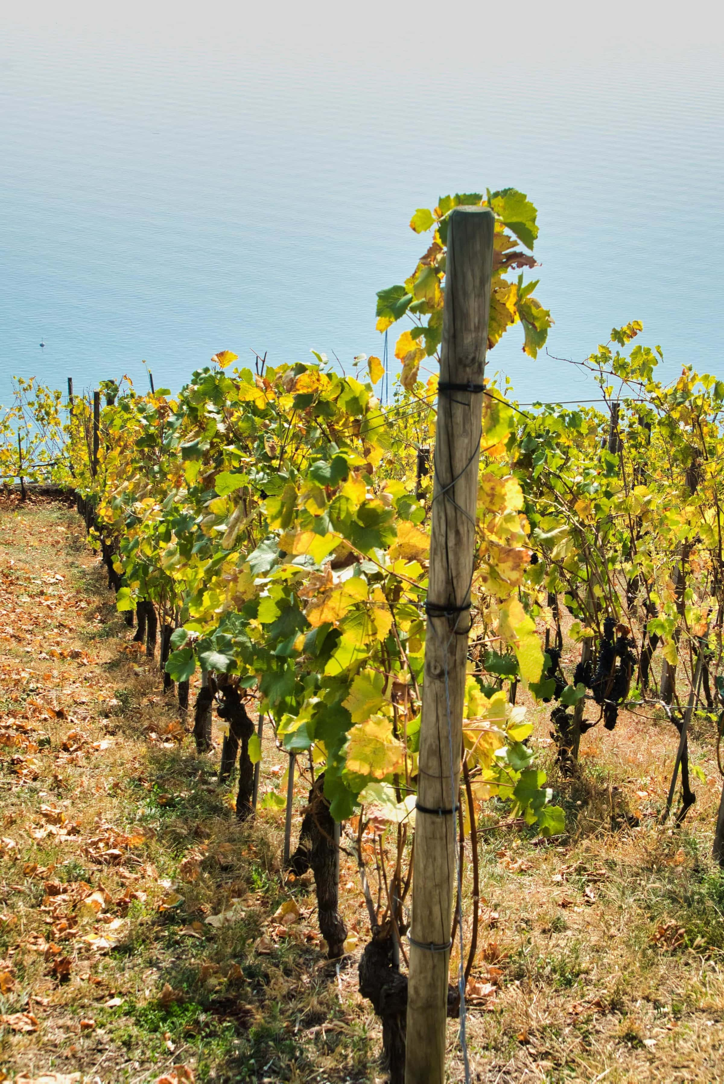 Weinreben im Herbst am Bielersee