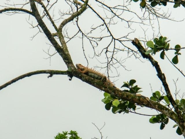 Iguana am Peñas Blancas
