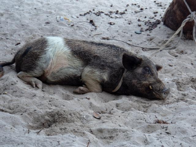 Hausschwein einer Kuna Familie